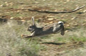 Gibier des causses levage de lapins de garenne accueil - Cuisiner le lapin de garenne ...